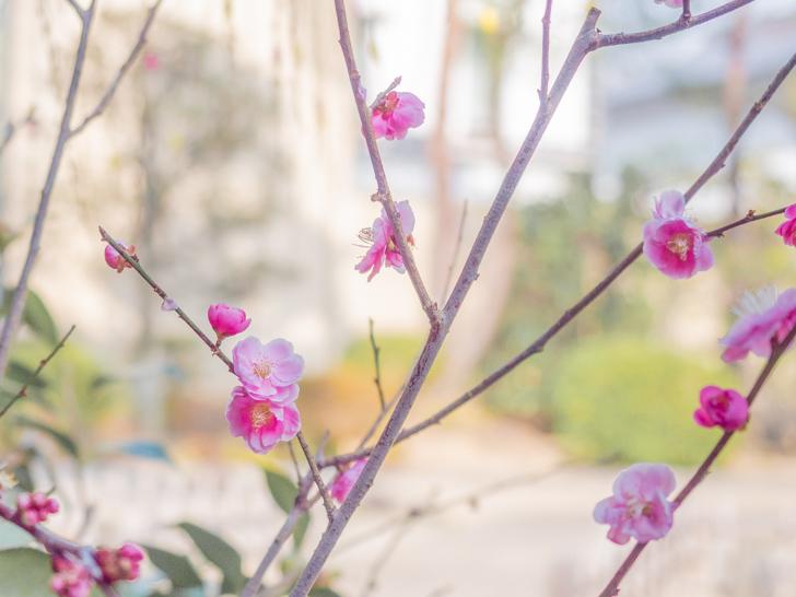 ひな祭り:桃の花